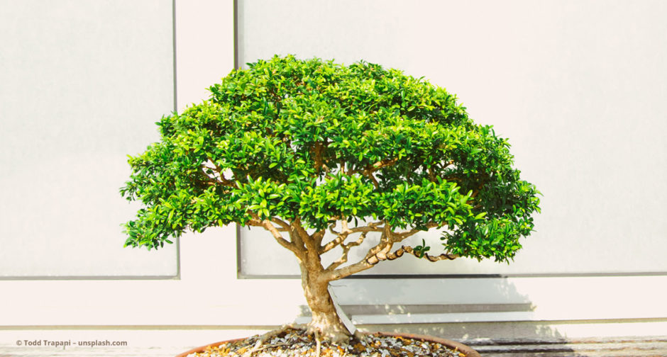 Bonsai © Todd Trapani – unsplash.com