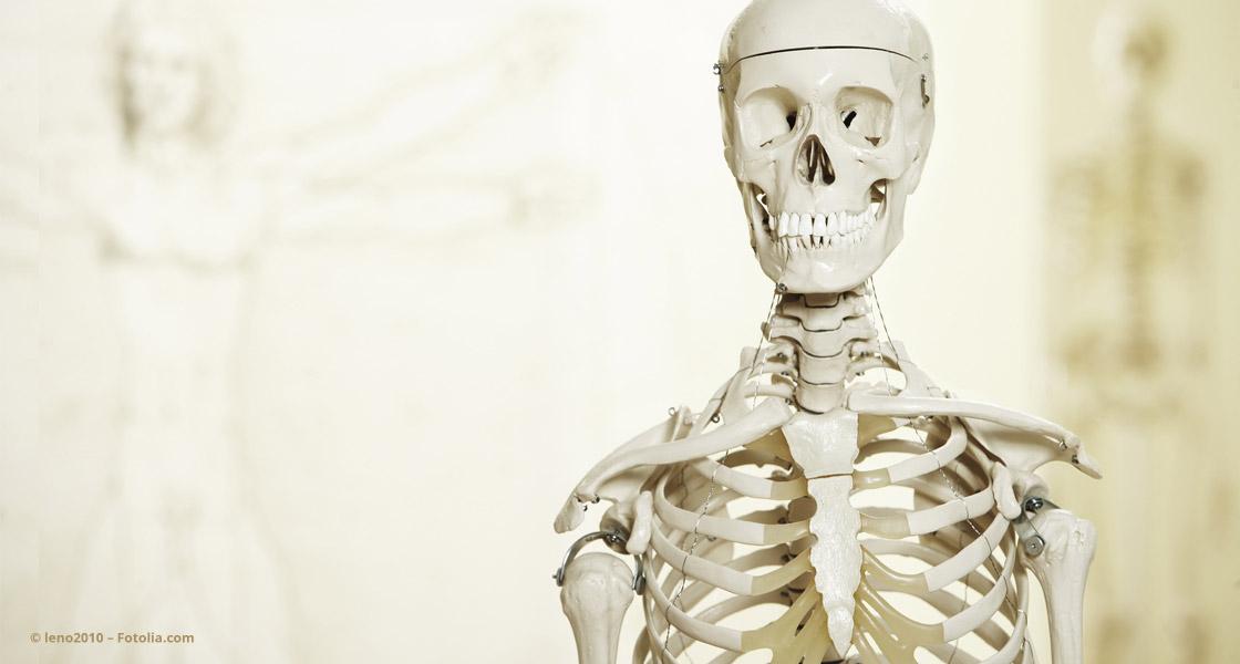 Menschliches Skelett © leno2010 – Fotolia.com
