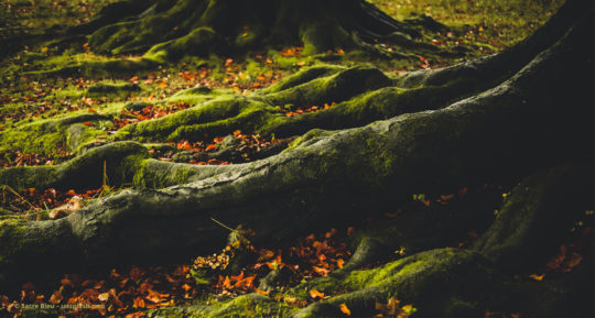 Mit Moos bedeckte Wurzeln eines Baums
